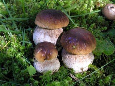 Белые грибы оптом